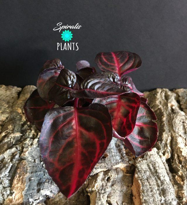 Iresine herbstii bloodleaf baby house plants