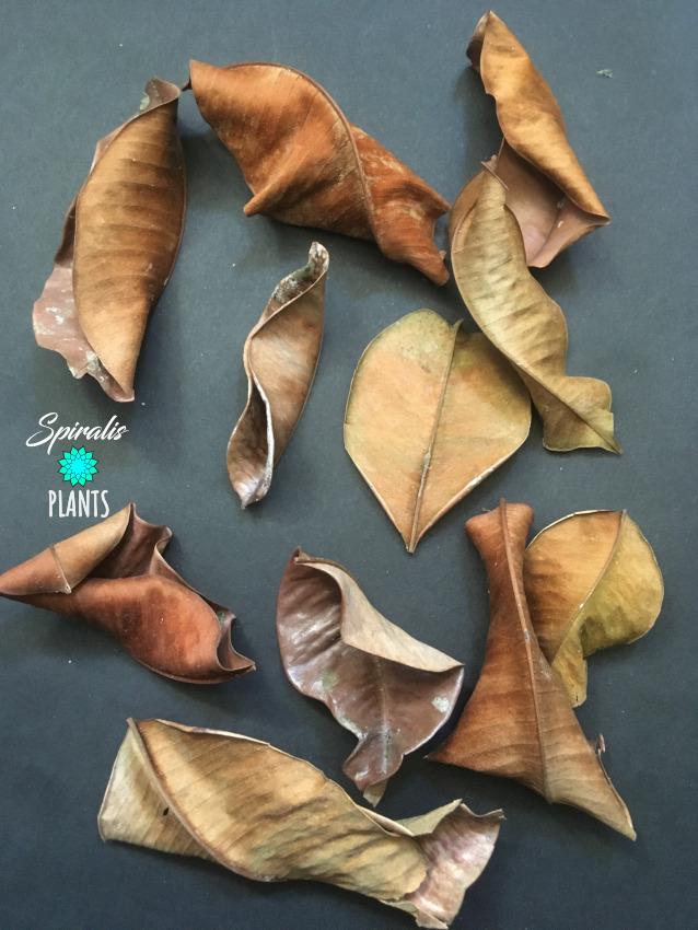 Kiri Palu Leaves Natural Terrarium Decor Leaf Litter