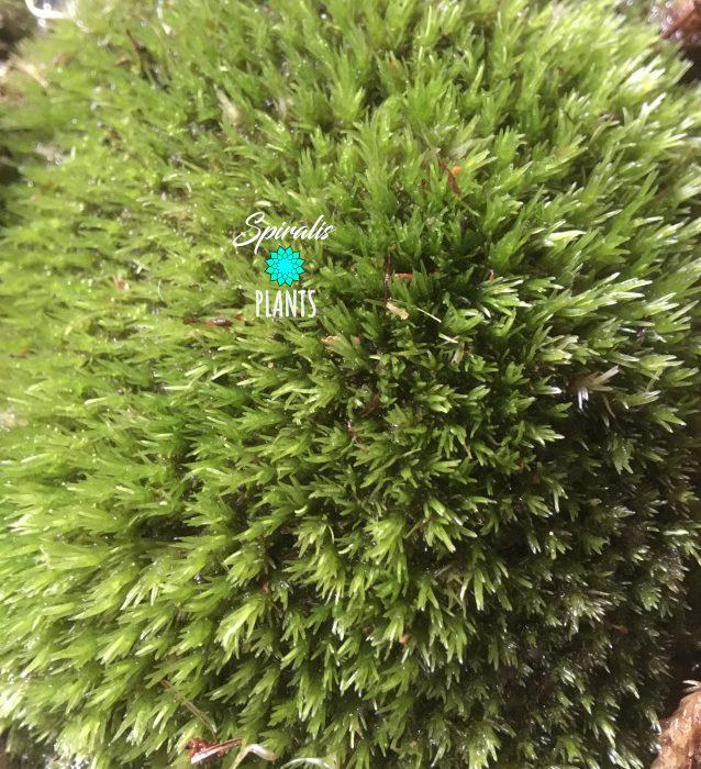 Leucobryum glaucum pincushion pillow terrarium live bun moss