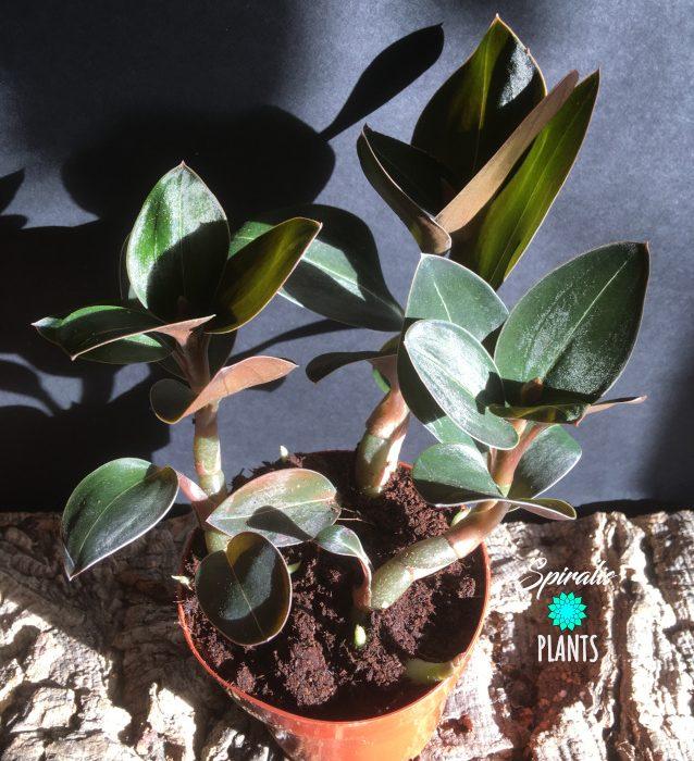 Ludisia discolour black form dark rare jewel orchid house plant