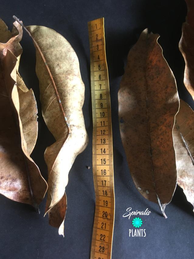 Mango leaves small natural terrarium vivarium decor leaf litter