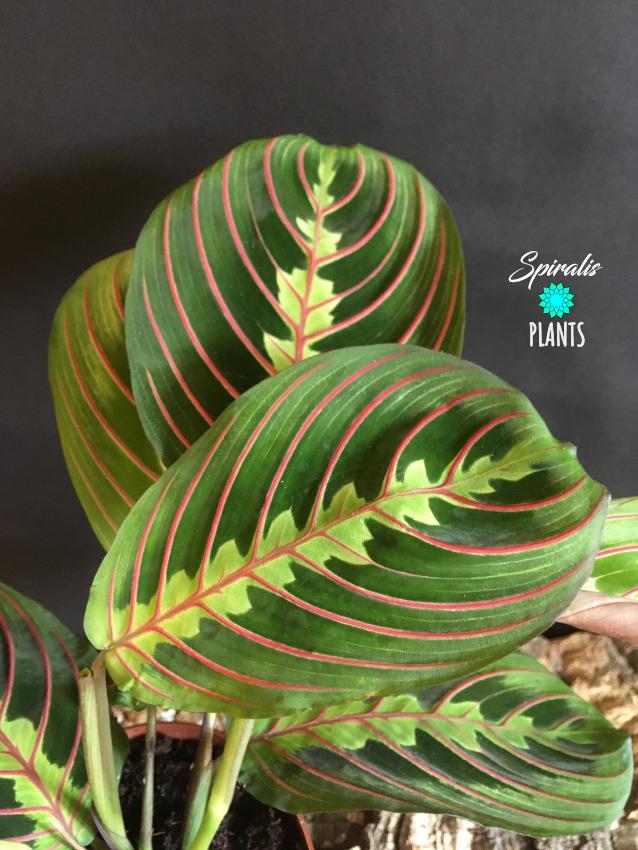 Maranta tricolour leaf colourful house plants