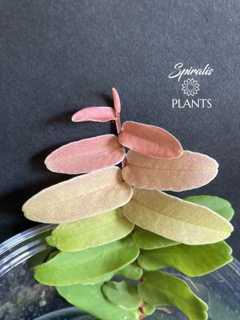 Marcgravia sintenisii rainbow shingling rare terrarium vine