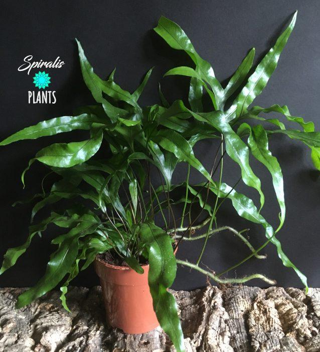 Microsorum diversifolium house plant fern