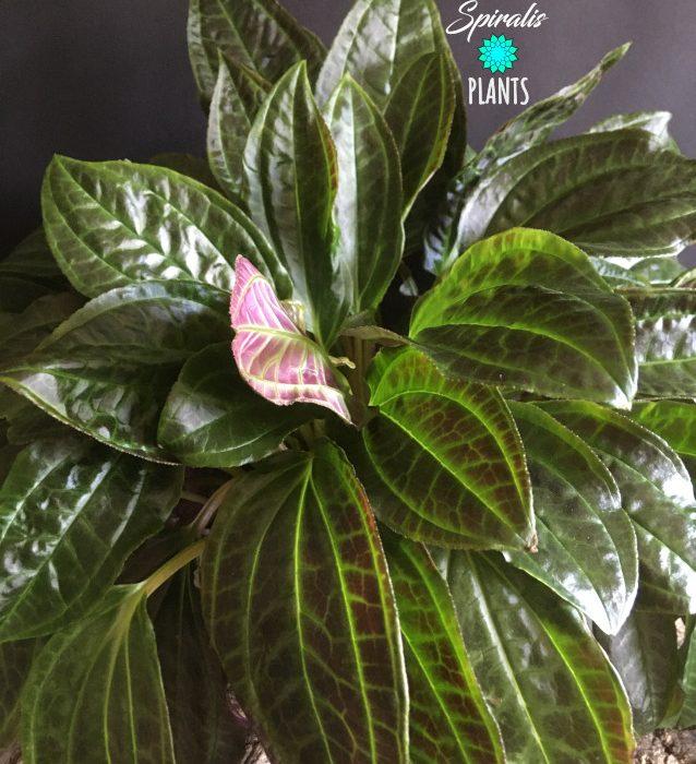 Monolena primuliflora green rare house plant foliage