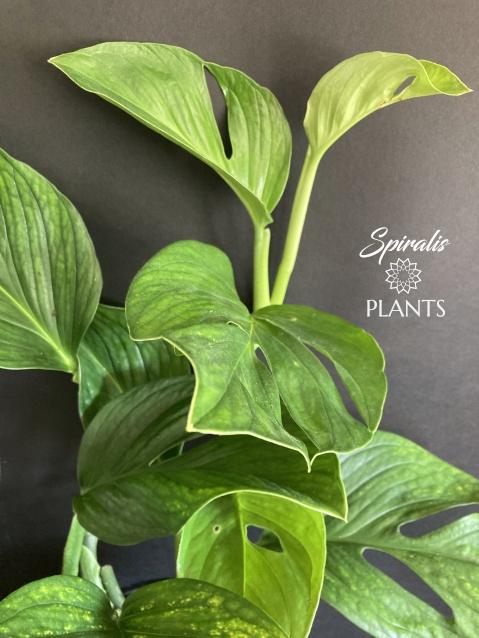 Monstera pinnatipartita rare aroid house plant large indoor climber