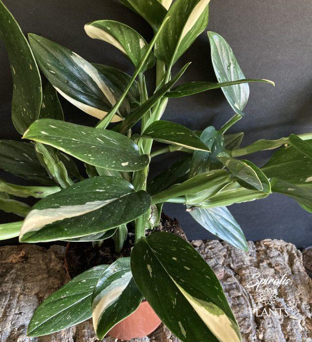 Monstera standleyana philodendron cobra rare variegated plants indoor aroids