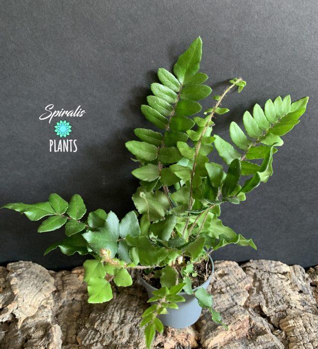 Pellaea falcata house plant indoor terrarium fern
