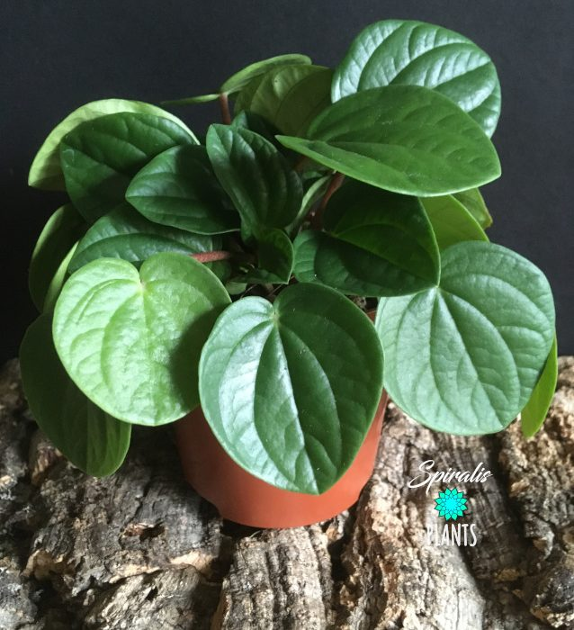 Peperomia albovittata Rana Verde tropical succulent house plant