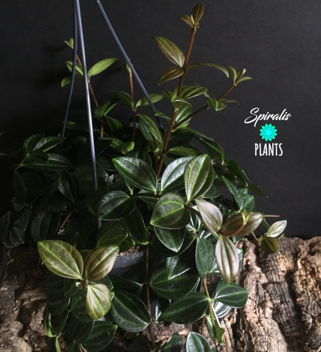 Peperomia angulata quadrangularis hanging trailign house plant