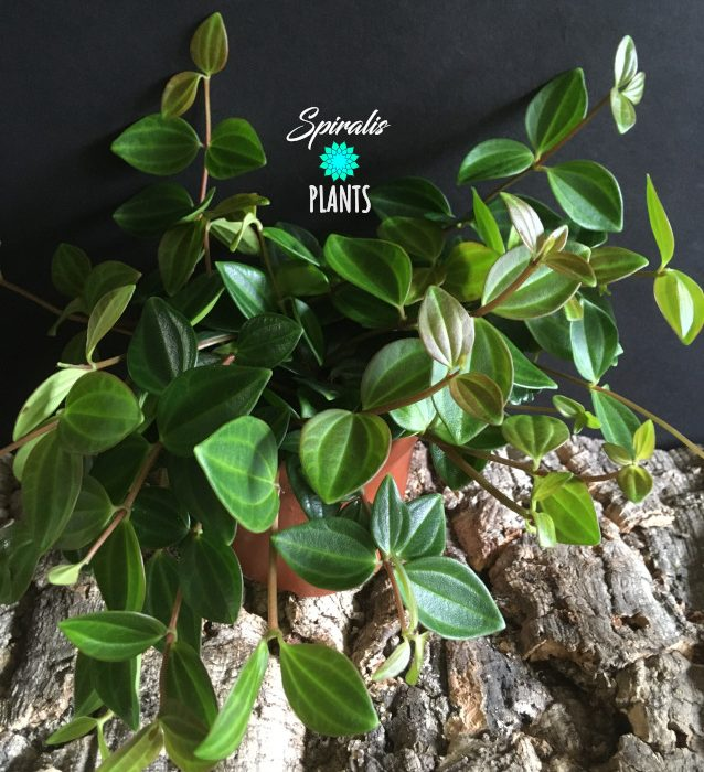 Peperomia angulata quadrangularis trailing house plants