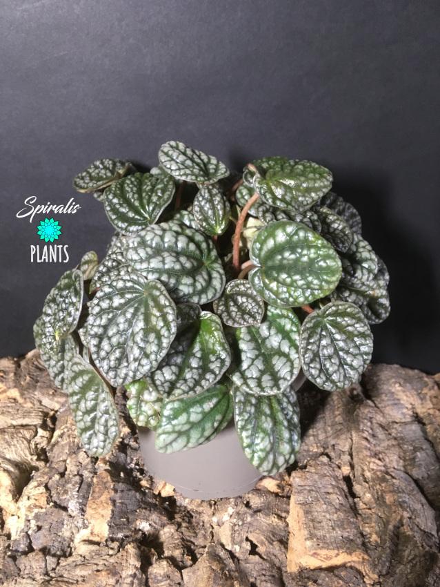 Peperomia burbella rare tropical house plants