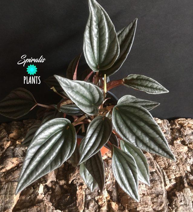 Peperomia caperata Silver Shine indoor house plant