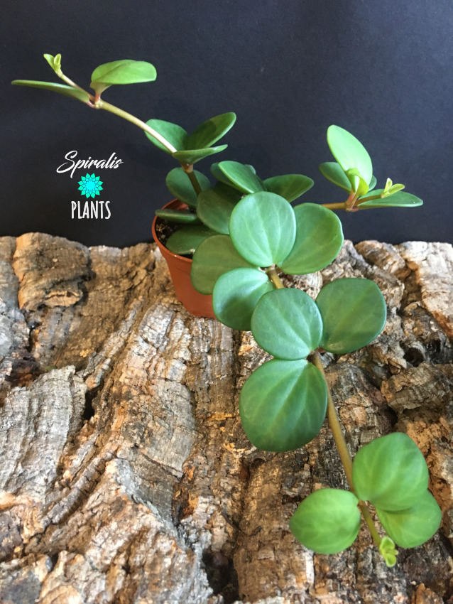Peperomia hope baby trailing house plants