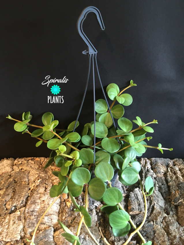 Peperomia hope trailing hanging pot house plant