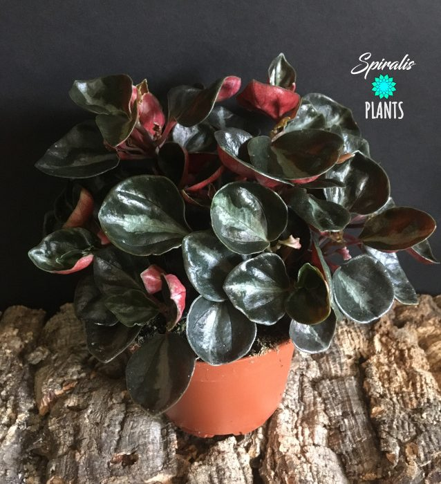 Peperomia metallica columbiana red black indoor plant