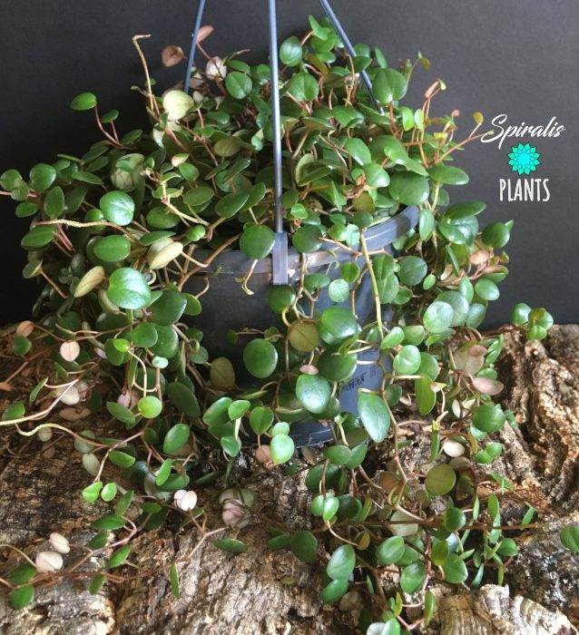 Peperomia pepperspot hanging trailing tropical house plants