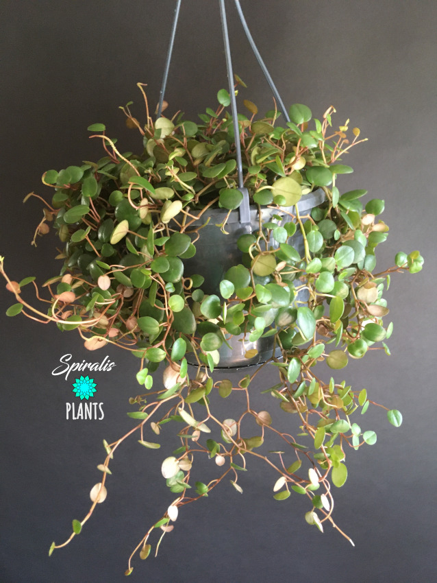 Peperomia pepperspot trailing hanging succulent house plant