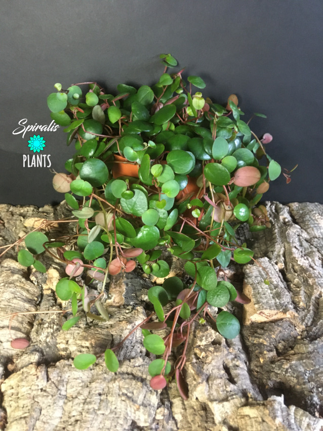 Peperomia pepperspot trailing terrarium house plant