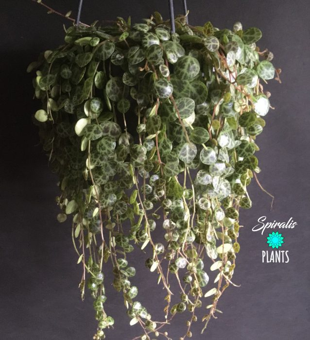 Peperomia prostrata String of Turtles trailing hanging 14cm pot house plant