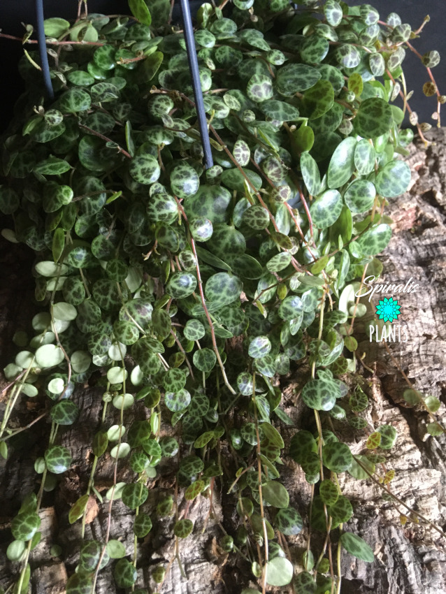 Peperomia prostrata string of turtles large hanging indoor plant 14cm pot