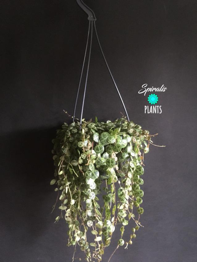Peperomia prostrata trailing 14cm hanging pot indoor planting