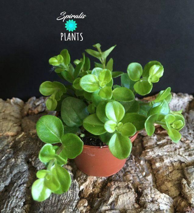 Peperomia rotundifolia baby plants