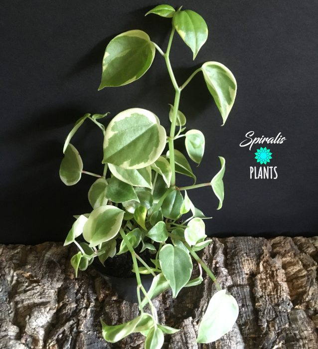 Peperomia scandens variegata trailing variegated indoor plant white
