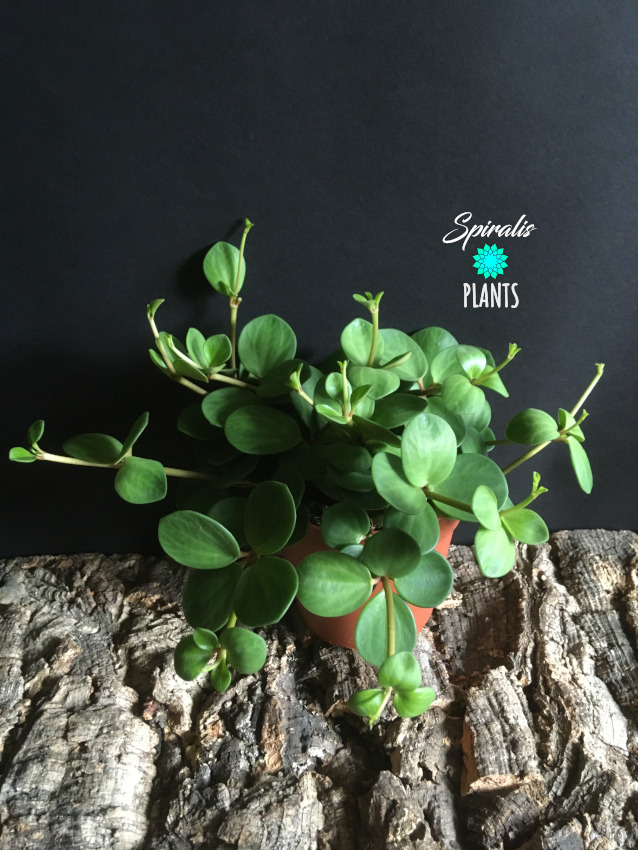 Peperomia tetraphylla Hope indoor trailing plant