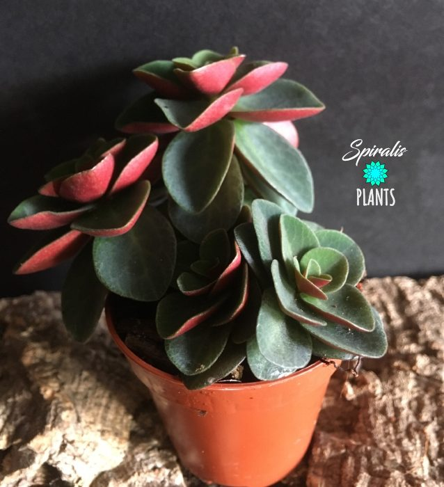 Peperomia verticiliata red log baby plant