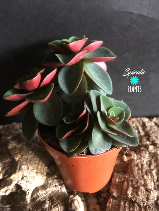 Peperomia verticiliata red log baby plant