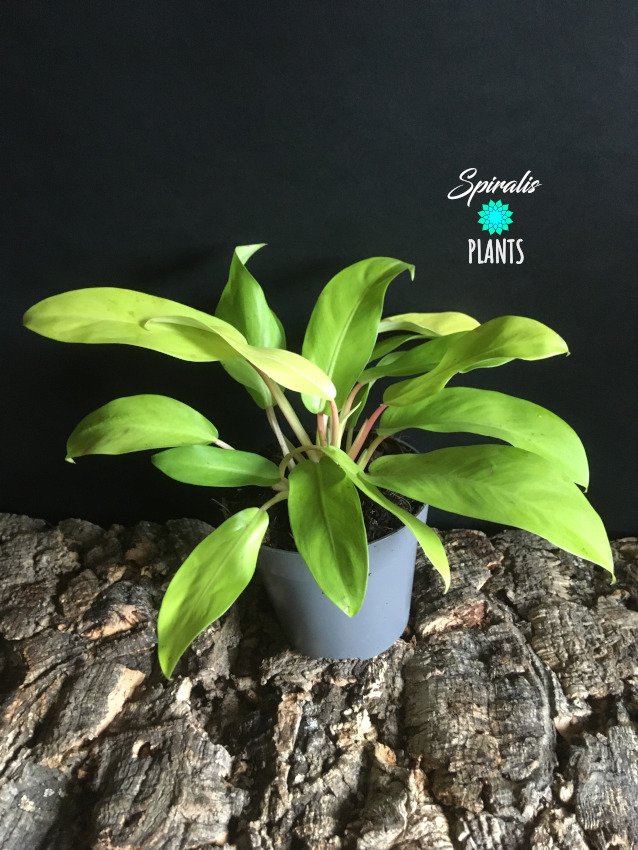 Philodendron Malay Gold Lemon Lime Tropical Yellow House Plant