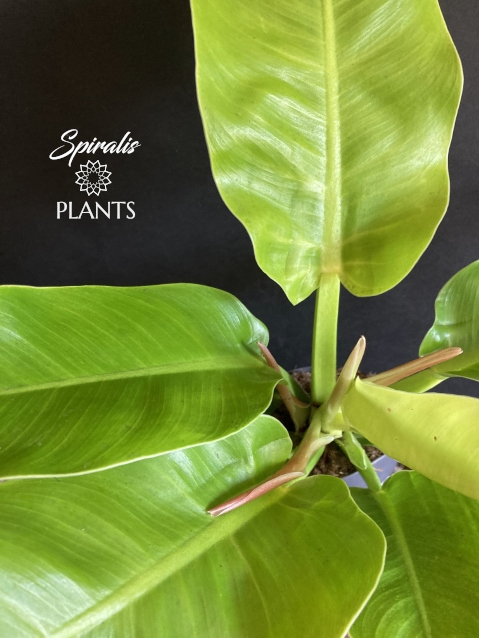 Philodendron Moonlight rare aroid yellow lime yellow lemon green house plant