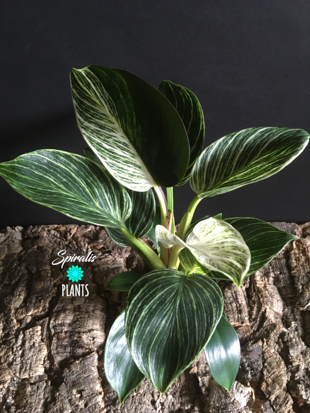 Philodendron birkin rare variegated aroid house plants