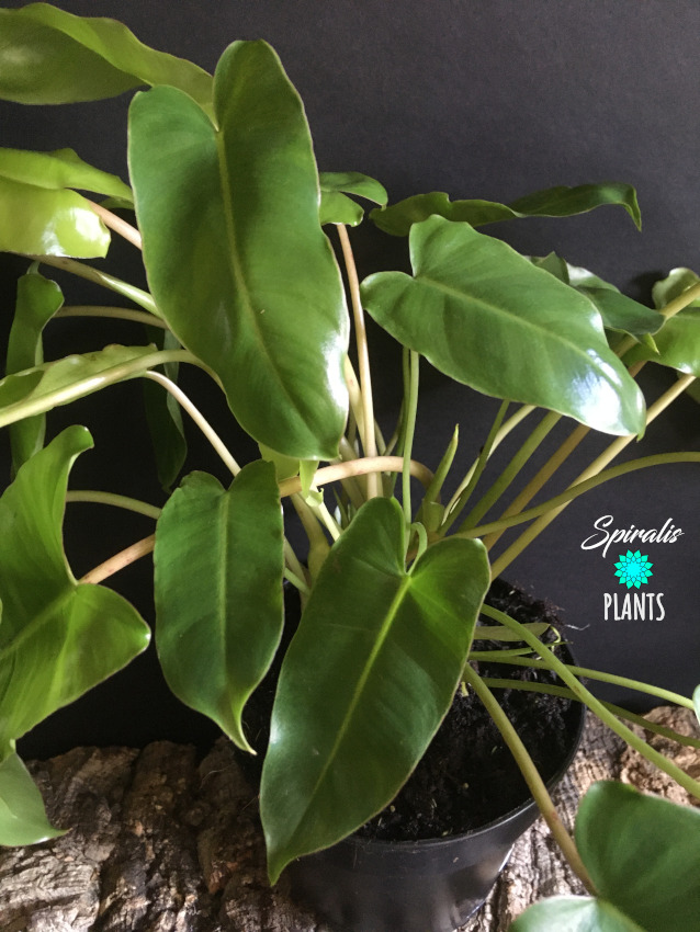 Philodendron burle marx climbing aroid green house plant