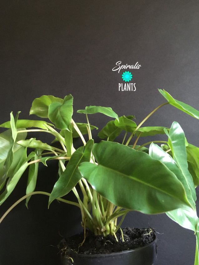 Philodendron burle marx climbing aroid tropical house plant