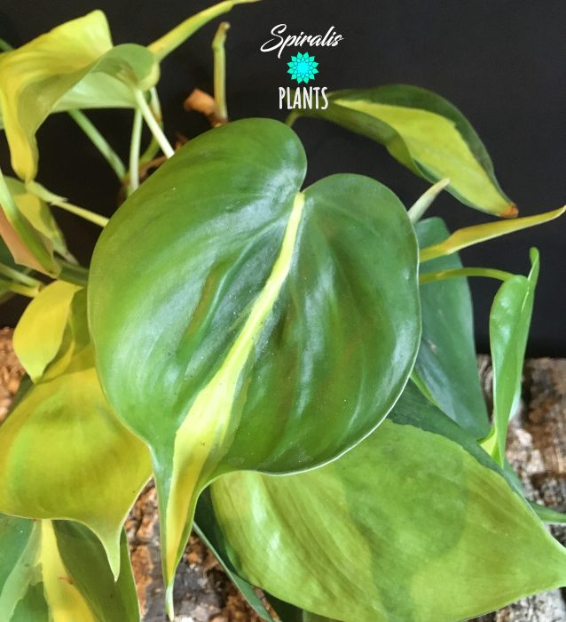 Philodendron hederaceum Brasil