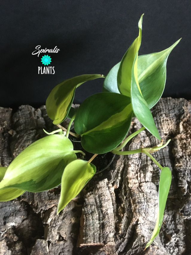 Philodendron hederaceum brasil trailing climbing baby house plant