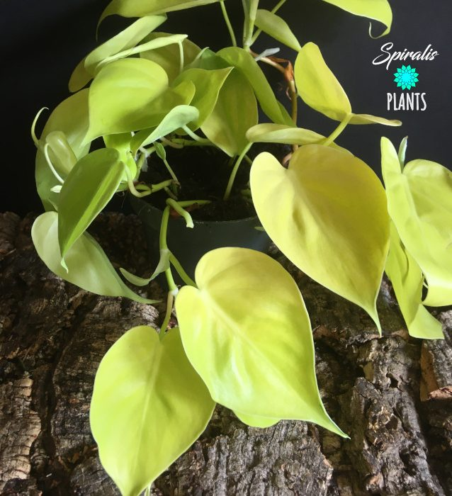 Philodendron hederaceum lemon lime