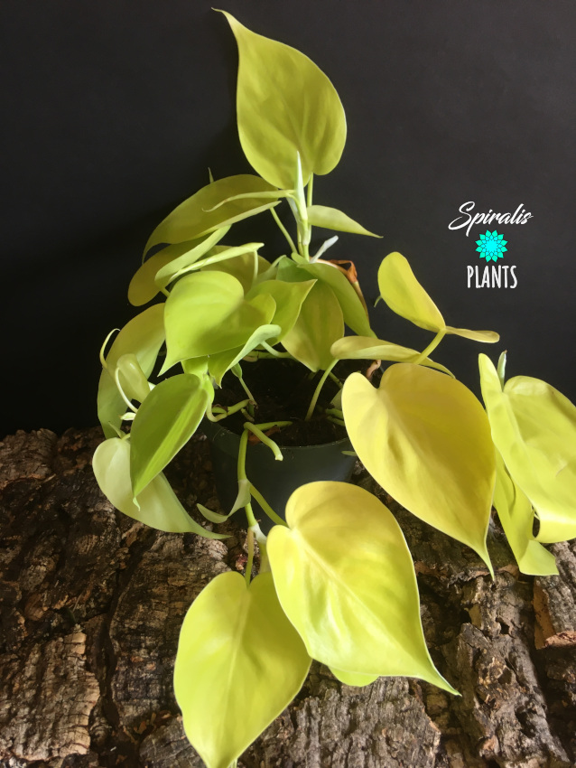Philodendron hederaceum micans lemon lime