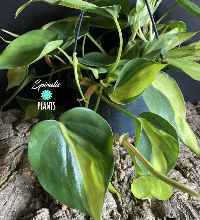 Philodendron hederaceum scandens Brasil climbing trailing hanging pot aroid variegated yellow