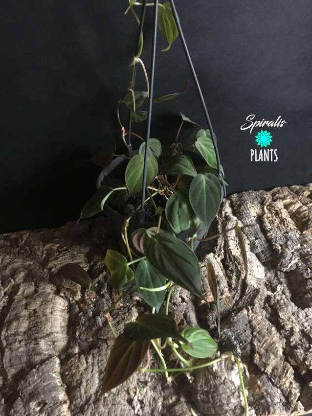 Philodendron micans hanging trailing aroid tropical house plant