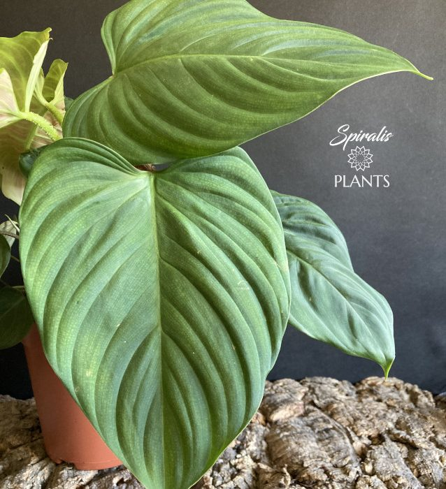 Philodendron sp fuzzy petiole rare aroid house plant