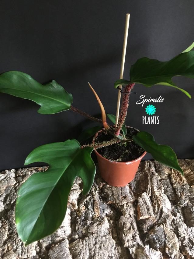 Philodendron squamiferum tropical aroid indoor plants