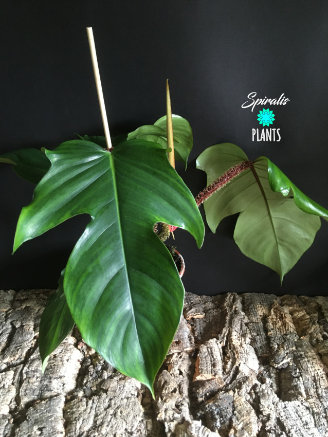 Philodendron squamiferum tropical aroids house plant
