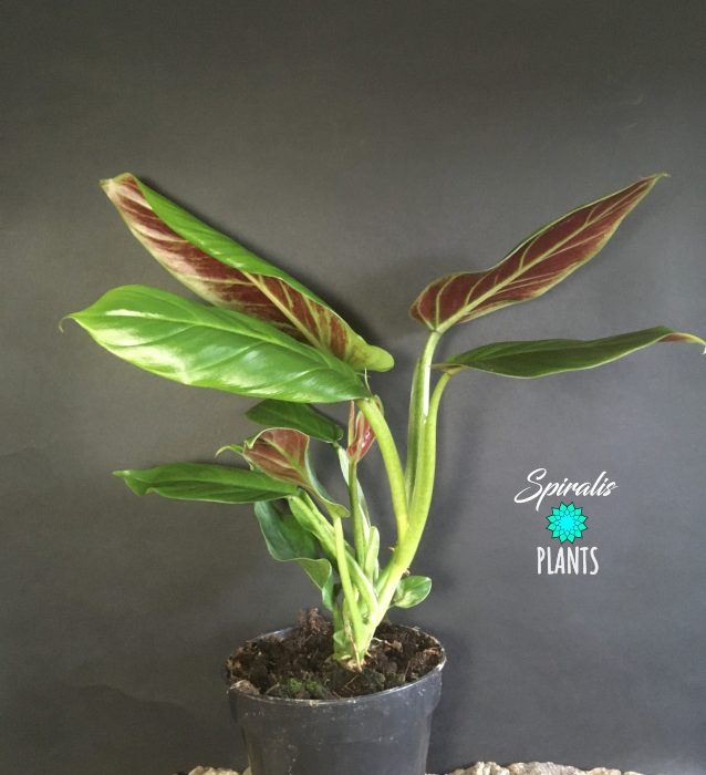Philodendron subhastatum rare aroid house plant red tropical