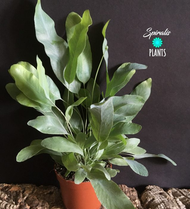 Phlebodium aureum blue star fern
