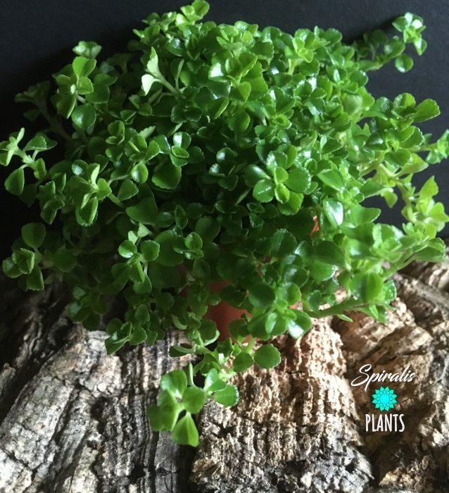 Pilea depressa baby tears trailing terrarium house plant