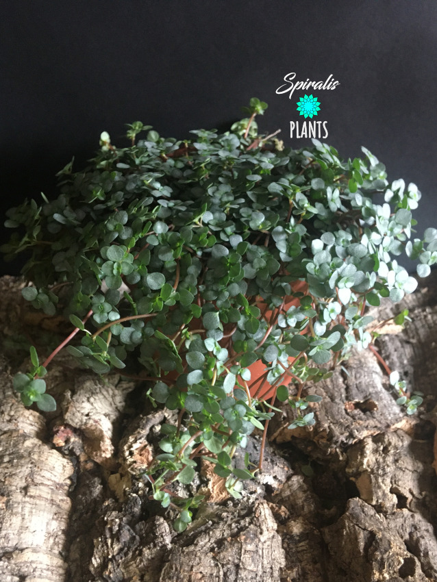 Pilea glauca large pot trailing house plant