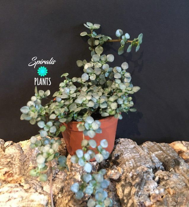 Pilea glauca libanensis baby plants